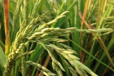 EVFTA, gạo Việt Nam cần nâng cao chất lượng như thế nào?