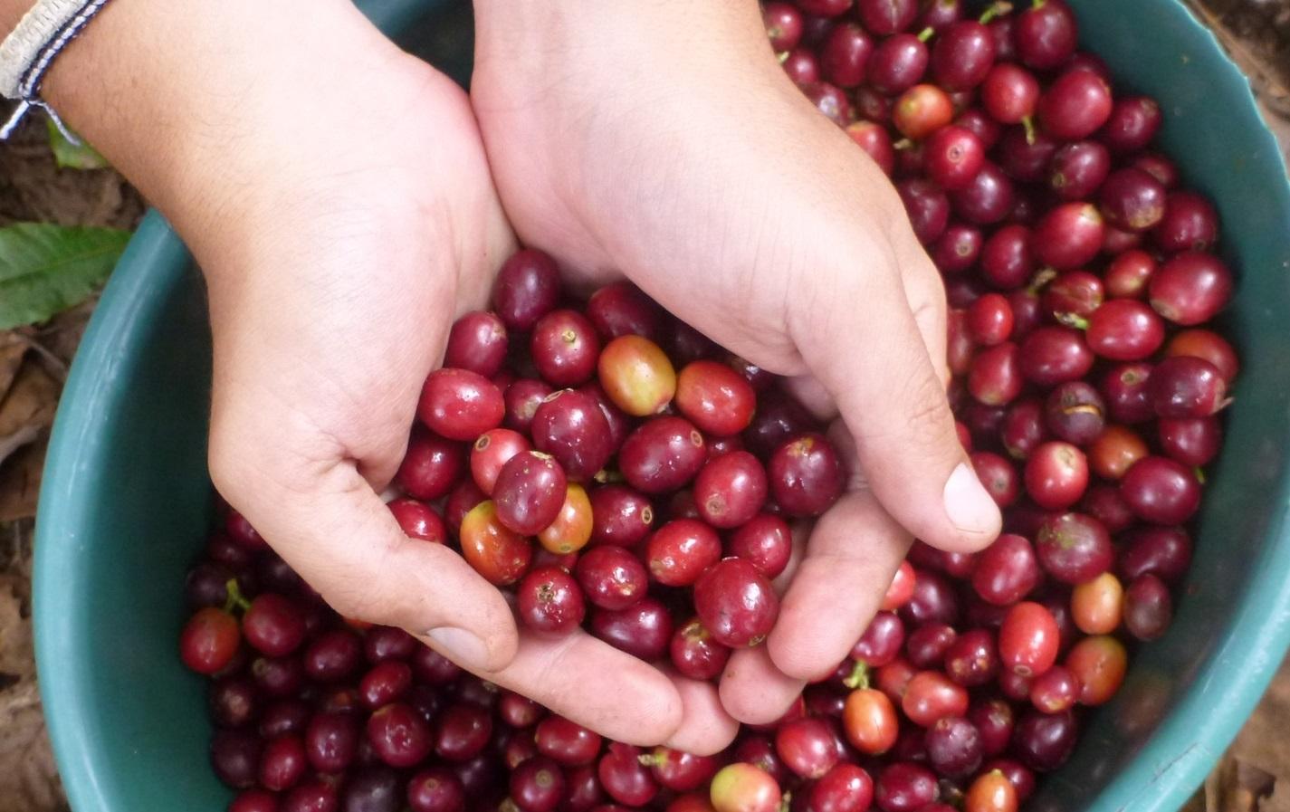 Hình ảnh quả cà phê chín đỏ được phân loại