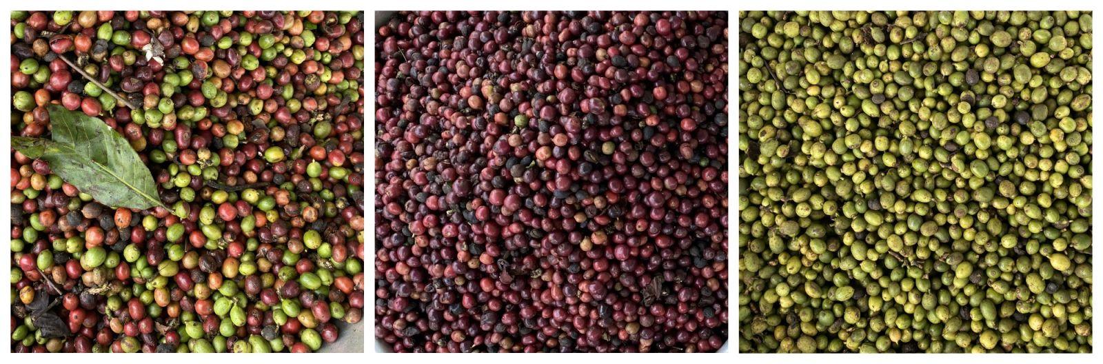 Nguyên liệu cà phê quả được phân loại bằng máy