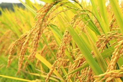Gạo đặc sản thơm ngon hiếm có của Việt Nam không thể bỏ qua.